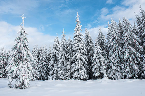 christmas-tree-forest